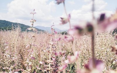 Clary Sage Oil Benefits & Uses | Essential Oils Series by Body Sanctum